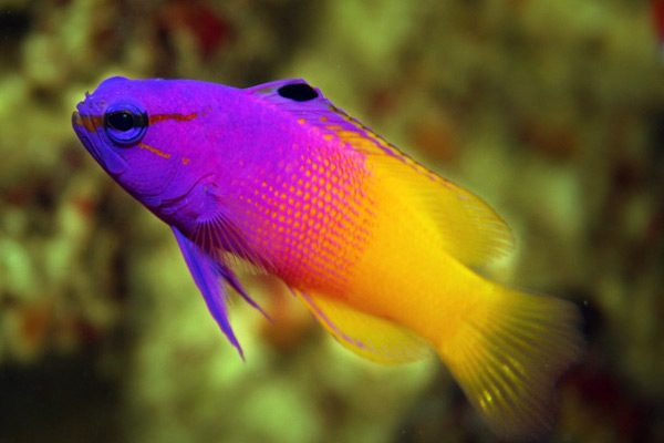 royal dottyback gamma
